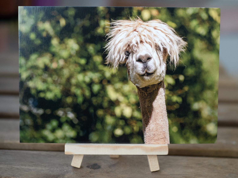 Ansichtskarte  Portrait eines Alpakas